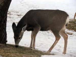 Possibly the mother deer in question