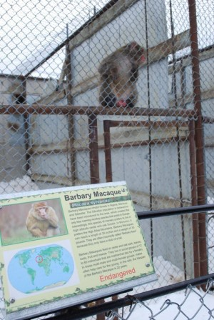Barbary Macaque (Endangered) by Nic Burgess
